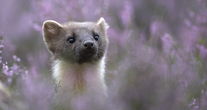 Pine marten (martes martes) in flowering heather, Scotland (Peter Cairns)
