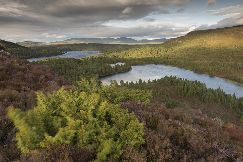 View over Rothiemurchus Forest in evening light, Scotland.
