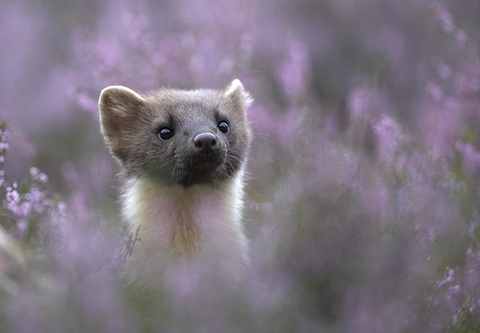 Pine marten (martes martes) in flowering heather, Scotland (Peter Cairns)